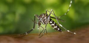 Aedes albopictus | Aziatische tijgermug
