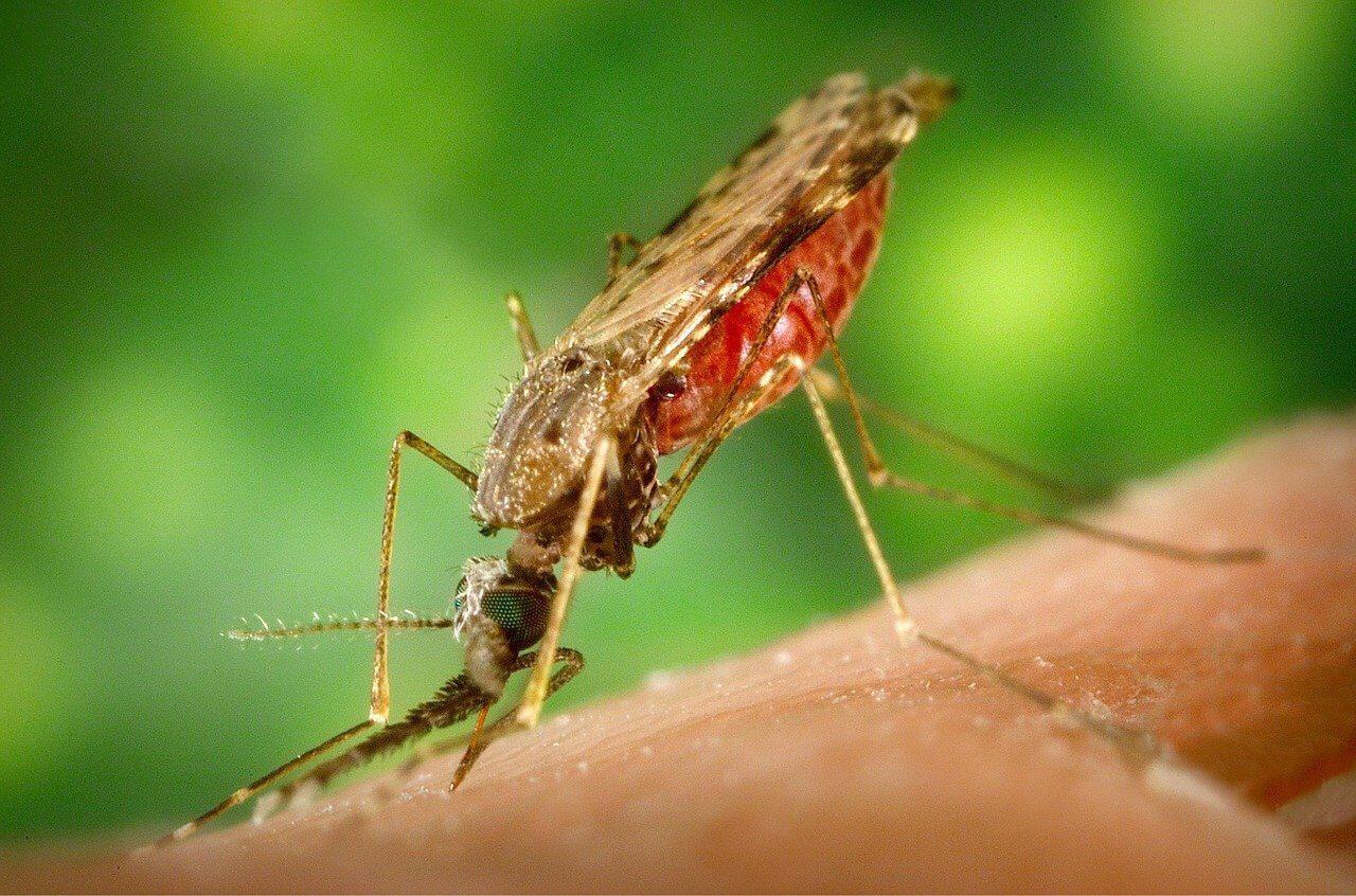 Aedes albopictus   Aziatische tijgermug